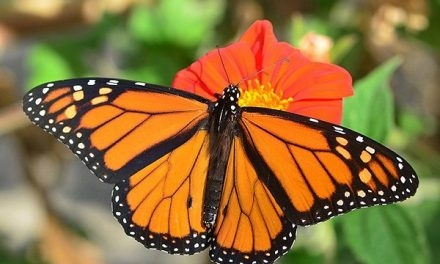 "Se realizara ""Festival de la Mariposa Monarca"""
